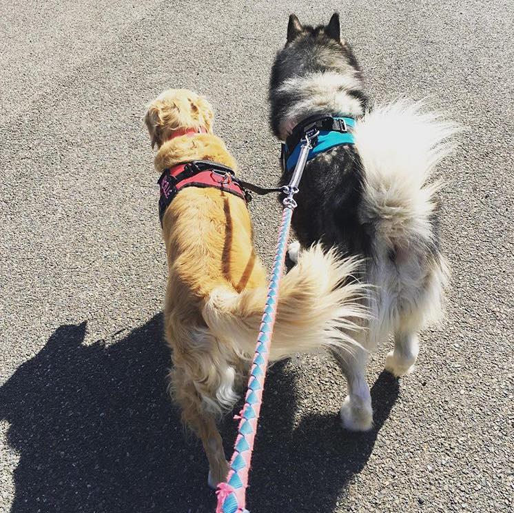 Ficelle et Molky, les chiens de Lucie GALURET, pressés d'aller en séance