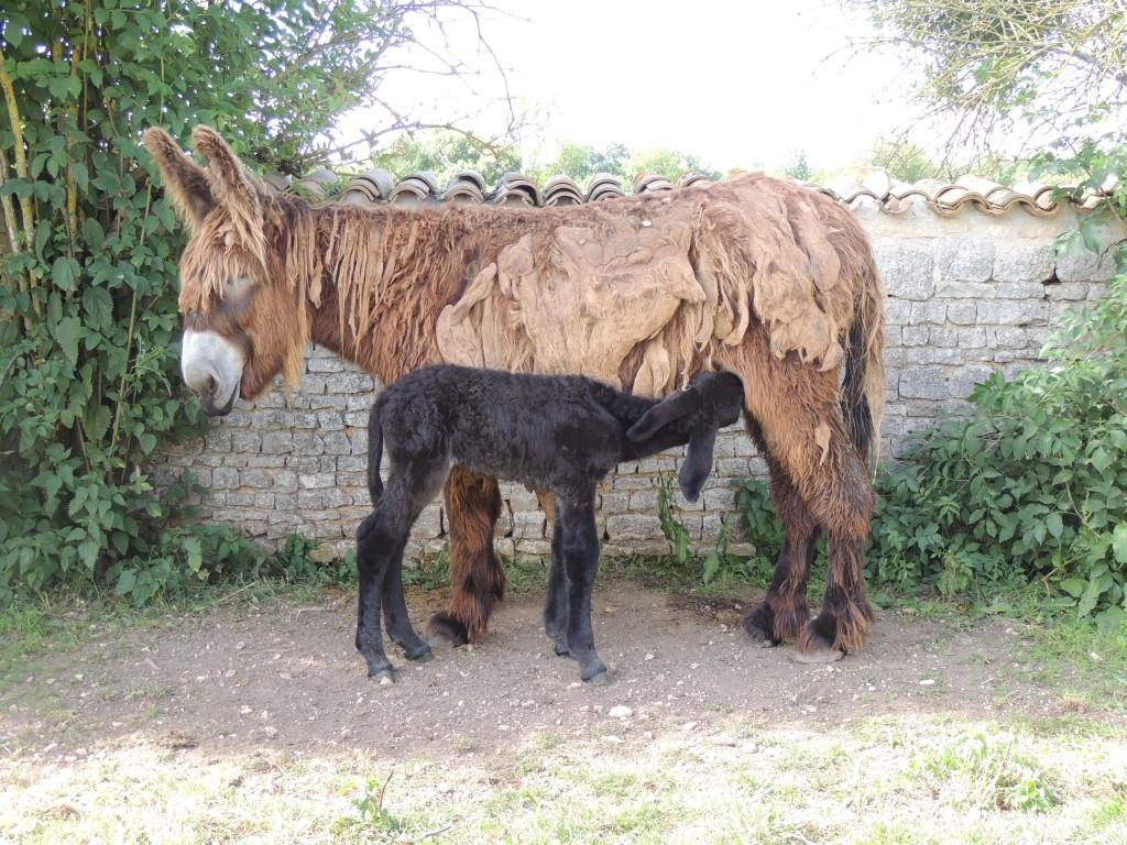 Une race d'animaux qui a failli disparaitre : l'Âsinerie du Baudet du Poitou restaure un âne menacé d'estinction